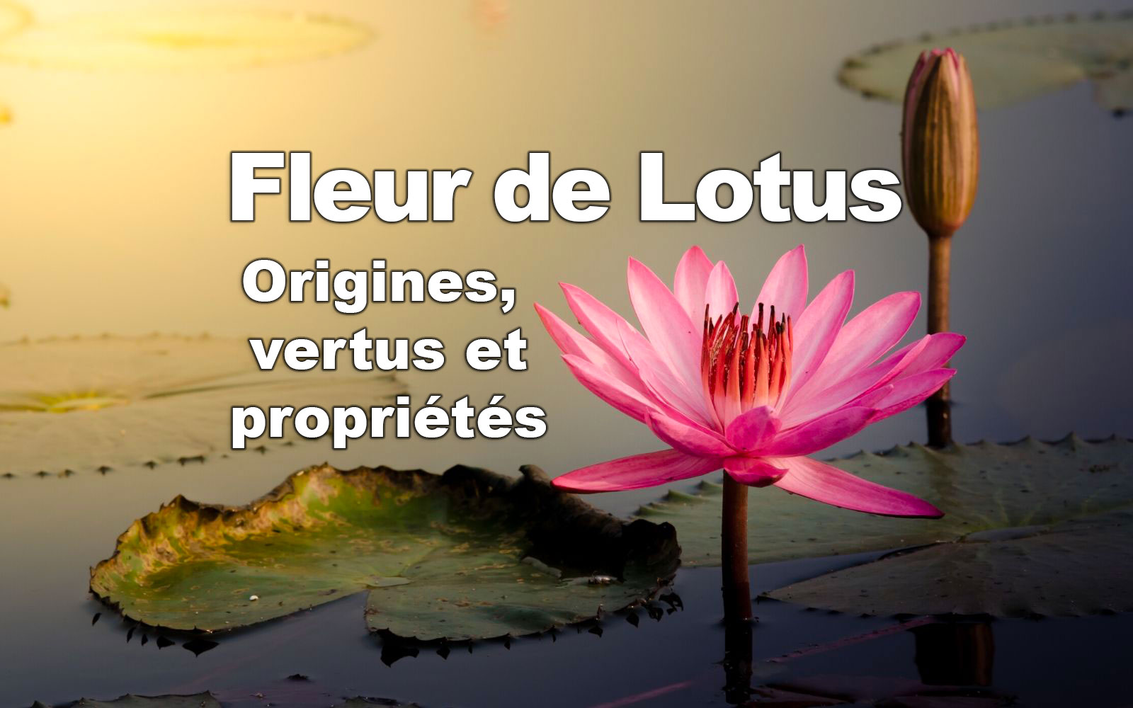 Fleur de Lotus origines, vertus et propriétés
